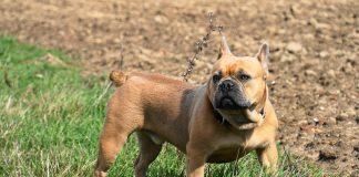 Carattere e caratteristiche del bulldog francese
